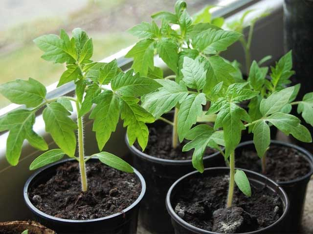 Как правильно освещать рассаду томатов 8