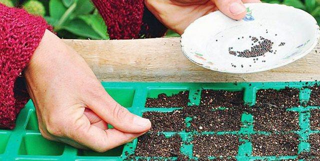 Когда сажать цветную капусту на рассаду в 774