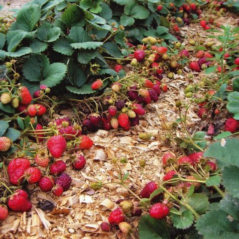 Как вырастить ремонтантную землянику на садовом участке
