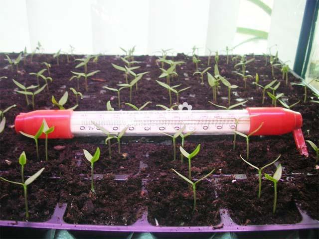 Выращивание рассады баклажанов из семян в домашних условиях