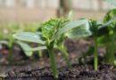 Как сажать огурцы на рассаду в домашних условиях