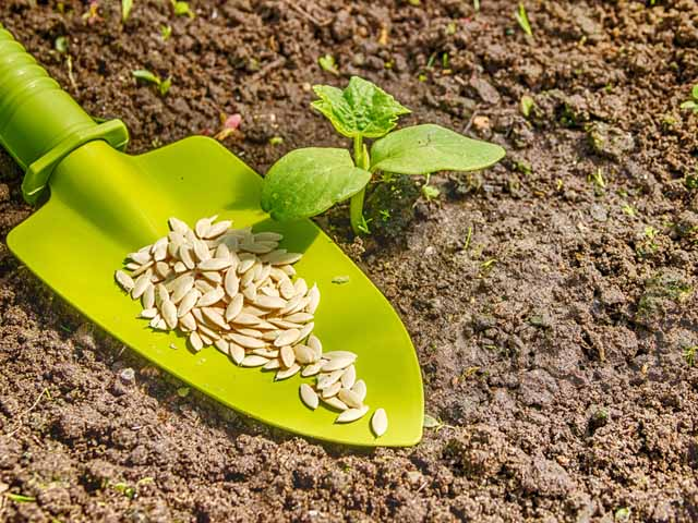 Как посеять семена огурцов на рассаду