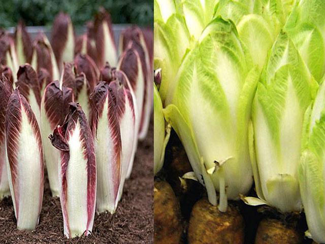 cikoriy-salatniy