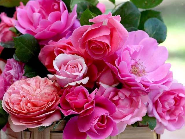 Виды больших роз