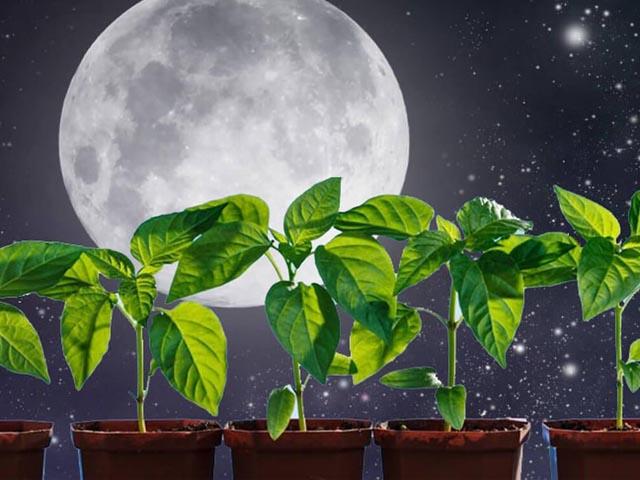 Когда сеять баклажаны на рассаду в 2019 году: оптимальные сроки по лунному календарю, исходя из климата региона и возраста рассады