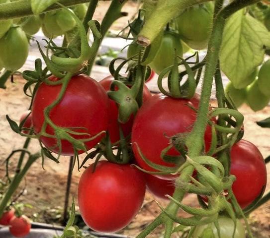 Сорта помидор для Вологодской области какие самые лучшие с фото