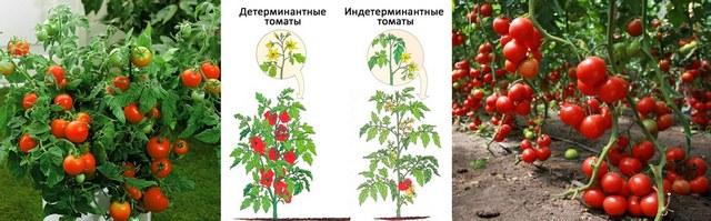 14-tomat.jpg