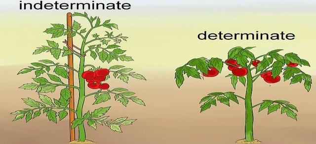 17-tomat.jpg