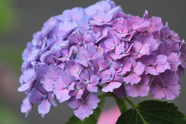 Садовая гортензия — посадка и уход в открытом грунте
