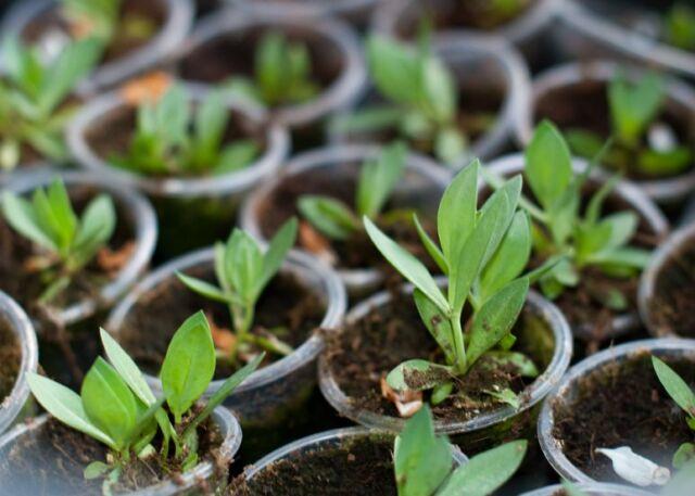 Эустома — выращивание в домашних условиях. Когда и как сеять семена на рассаду