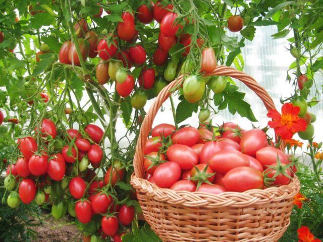 Какие ранние сорта помидор сажать в теплицу
