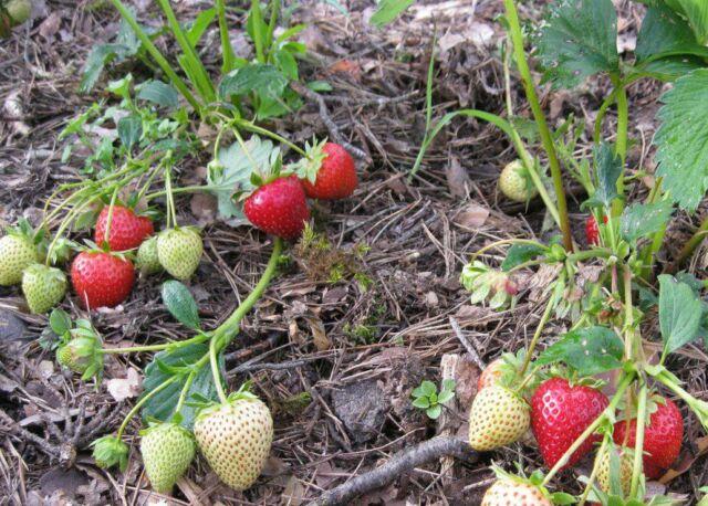 19 лучших сортов земляники садовой посадка и уход выращивание