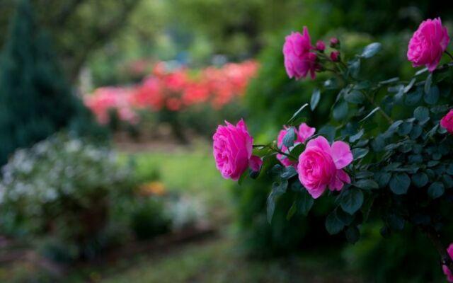 Roses-Flowers-Pink-Blurred.jpg