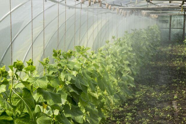 Все самые урожайные сорта огурцов для теплиц и огородов