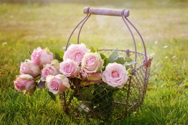 Как садить саженцы роз