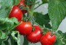 Болезни тепличных помидоров и их лечение