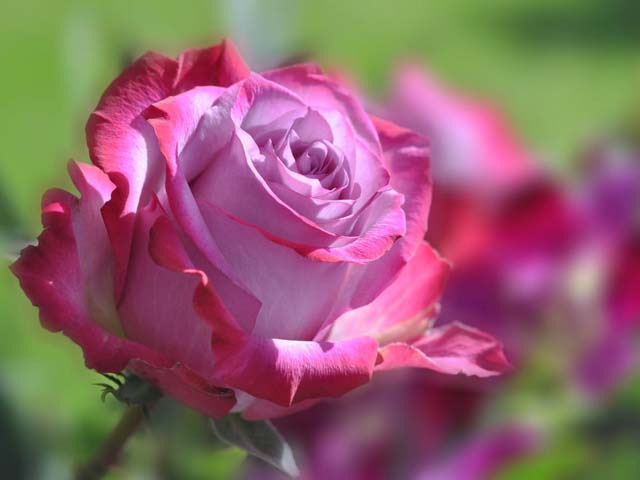 Когда лучше сажать розы - весной или осенью{q} Посадка роз в открытый грунт