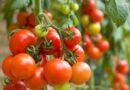 Как правильно пасынковать и прищипывать помидоры